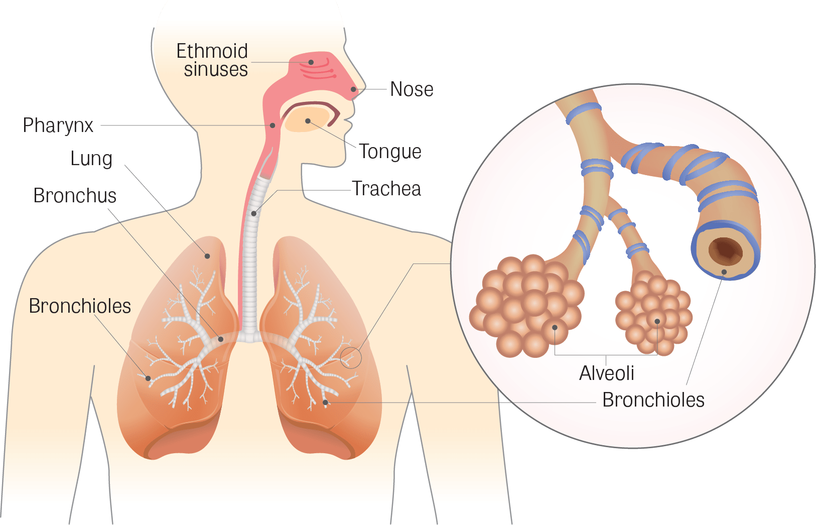 Seafood health benefits:lungs